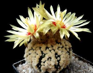 Blumengarten-gt-cv-H-A-N-A-Z-O-N-O-Super-Kabuto-30-Korn-Astrophytum-Kakteen-Ar