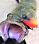 2 Redfin Lures Yellowbelly Murray Cod Trout Bream Perch Jacks Flathead Bass Pike