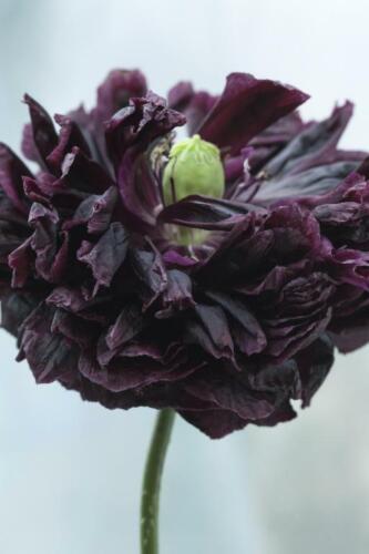 500 Graines Seeds // Pavot Paeoniflorum BLACK PEONY Papaver Poppy 0,25 gram