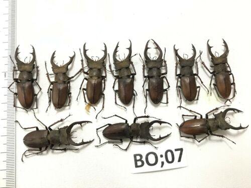 Vietnam North. BO07 # lot of 10 pcs beetle lucanidae LUCANUS  formosus Didier