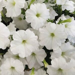 Petunia-Seeds-Candypops-White-50-Pelleted-Petunia-Seeds-Candy-Pops-White