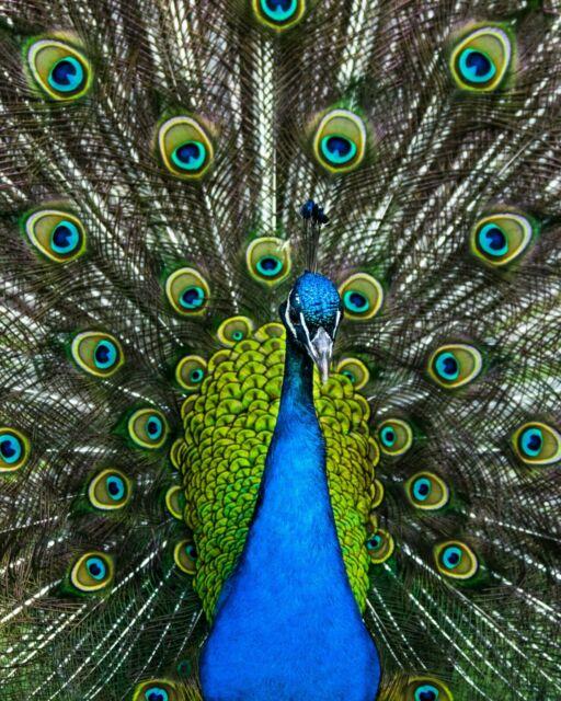 Jigsaw Puzzle 500 - 529 Piece 11' x 14' Peacock 🦚