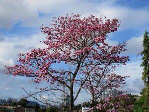 Amapa-Rosa-TABEBUIA-ROSEA-7-Semillas-arbol-Jardin-Flores-Garden-Seeds