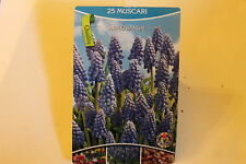 25 Blumenzwiebeln,Traubenhyazinthe,Muscari blau,Armeniacum#BZ62