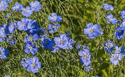 Garten Pflanzen Samen winterharte Zierpflanze Saatgut Staude Blume STAUDENLEIN