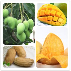 Mangifera-indica-Bonsai-1-Pcs-Graines-TREE-Mangue-fruits-biologiques-Sweet-Garden-New-M