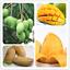 Mangifera-indica-Bonsai-1-Pcs-Graines-TREE-Mangue-fruits-biologiques-Sweet-Garden-New-M miniature 1