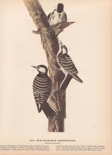 "1942 Vintage AUDUBON BIRDS #389 /""RED COCKADED WOODPECKER/"" Color Art Plate Litho"