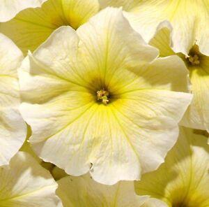 Petunia-Seeds-Candypops-Yellow-Pelleted-Petunia-50-Pelleted-Seeds