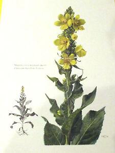 """Résultat de recherche d'images pour """"molène planche botanique"""""""