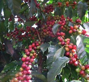 Arabica-Kaffee-Samen-Seeds-Coffea-Kaffeebaum-Coffe-Raritaet-Bergkaffee