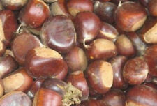 Chinese Chestnut Tree Seedling Edible Nut  Tree LIVE PLANT non-blight species