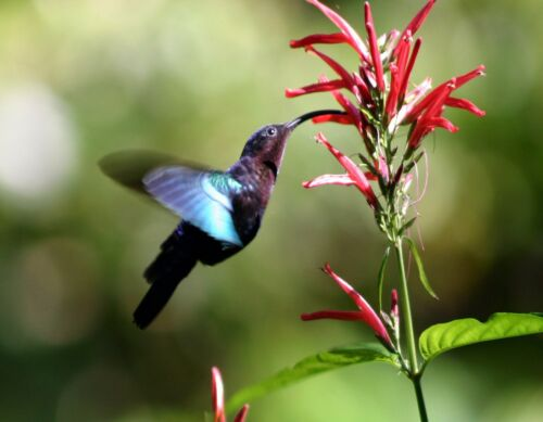 METAL REFRIGERATOR MAGNET Purple Throated Carib Hummingbird Bird Travel Dominica
