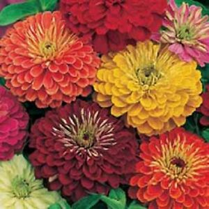 50 Zinnia Cactus Double Mix Annual Flower Seeds