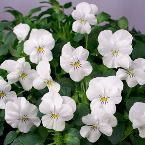 x20 sds Viola for hanging baskets Viola F1 Tumbola White  Approx