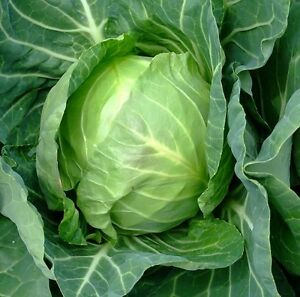 how to get cabbage seeds