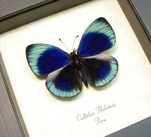 Real Framed Callithea Philotmia Butterfly 355