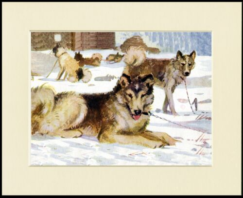 SIBERIAN HUSKY SLEDGE DOGS LOVELY PRINT MOUNTED READY TO FRAME