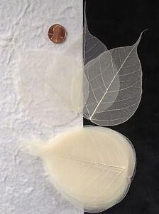 25-Bleached-White-leaf-Po-Bo-Banyan-Skeleton-Leaves-Cards-Candles-crafts-Medium