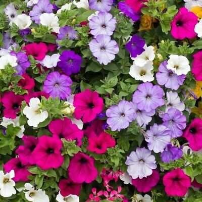 Petunia Hybrid Two colours Star 500 seeds Hanging basket Curbs Balcony