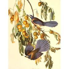 Mid Century Birds of America Folio Print aft John Audubon Florida Jay 35 x 43 cm