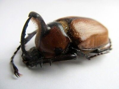 Andes Rhino Beetle Golofa unicolor Taxidermy FAST FROM USA