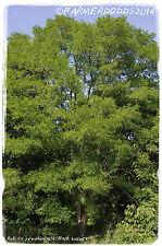 Robinia pseudoacacia 'False Acacia' 100+ SEEDS