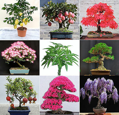 361 seeds pachira maple mimosa wisteria sakura pine pinus pomegranate money tree