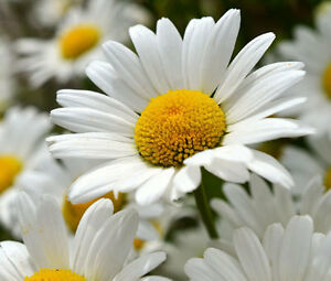 DAISY-SHASTA-Chrysanthemum-Maximum-25-000-Bulk-Seeds
