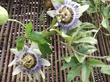BLUE PASSION FLOWER - PERENNIAL - CLIMBER - PASSIFLORA CAERULEA 75 SEEDS