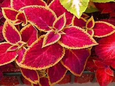 50 Seeds Coleus Jazz Ruby Seeds Coleus Seeds Garden leader