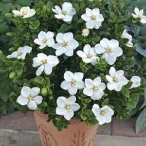 Details about 15 gardenia white flower seeds perennial long lasting indoor house plant image is loading 15 gardenia white flower seeds perennial long lasting mightylinksfo