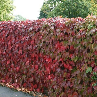 Boston Ivy Garden Plant 3X RED Virginia Creeper Fast Climber Approx 1-2 feet