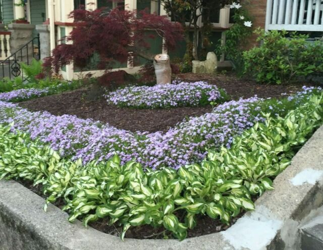 Hostas For Sale >> 5 Live Bare Root Ready To Plant Hosta Plants Green And White Variegated Hostas