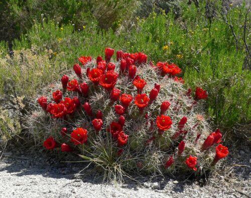 Echinocereus triglochidiatus Hardy Cactus SEEDS!