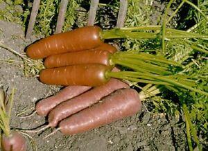 (240) Premier Qualité Carotte Filochard 1200 graines-Jardin Légumes-afficher le titre d`origine U2QJnSp0-07204507-860908521