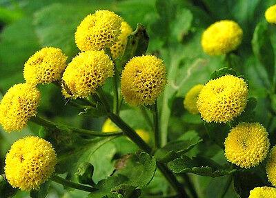 FREE P&P LARGE PACKET -  7500 seeds - GOLDBALL FLOWER Chrysanthemum parthenium