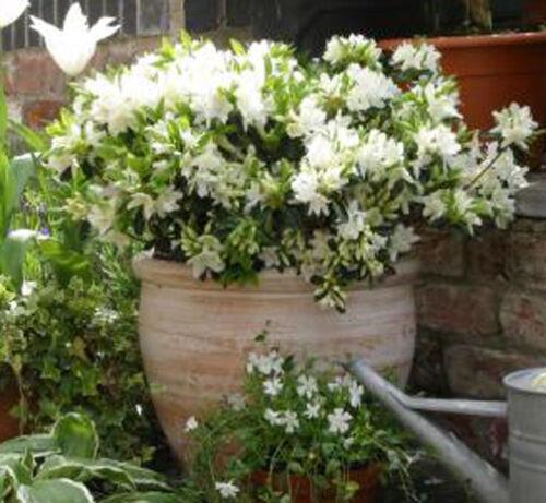 Rhododendron Azalea Snow White starter plant FREE SHIP