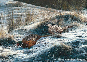 Steven-Townsend-PHEASANTS-Game-Birds-Grouse-Partridges-Art-Shoot-Photo-Realism