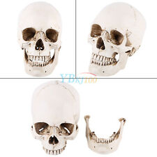 white Human Skull Replica Resin Model Medical Lifesize Realistic NEW 1:1 Model