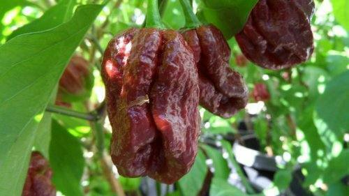 25 One of The World/'s Hottest Peppers-E 005 Trinidad 7 Pot Douglah Seeds