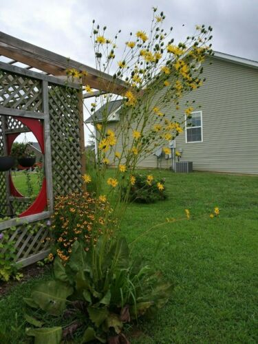 Prairie Dock Seeds x40 Siphum terebinthinaceum Native Wildflower Yellow Tall