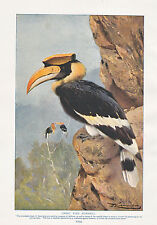 1910 NATURAL HISTORY DOUBLE SIDED PRINT ~ HOOPOES / PIED HORNBILL ~ LYDEKKER