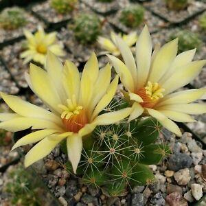 Mammillaria-sphaerica-Cactus-Cacti-Succulent-Real-Live-Plant