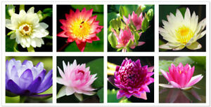 100x-Bowl-Lotus-Seeds-Flower-Water-lily-Perennial-Nymphaea-Mesprout-Aquatic