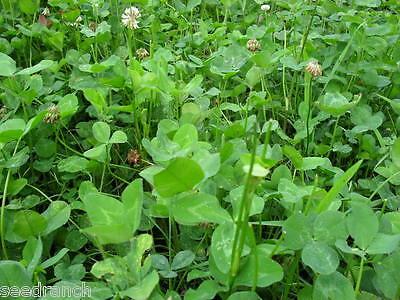 10 Lbs. Regal Graze Ladino Clover Seeds