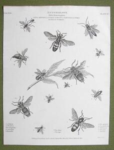 ETNOMOLOGY-Insects-Wasps-Hymenoptera-1814-REES-Engraving-Print