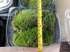 Live Bio Active pillow/frog moss for terrarium, viv, mini garden or fairygarden.