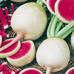 Radieschen-Wassermelone-200-Samen-Saatgut-Winterradieschen-Gemuese