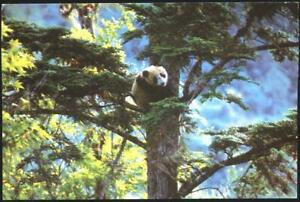 Postcard-Fauna-Panda-Flora-Trees-1981-from-China-avdpz
